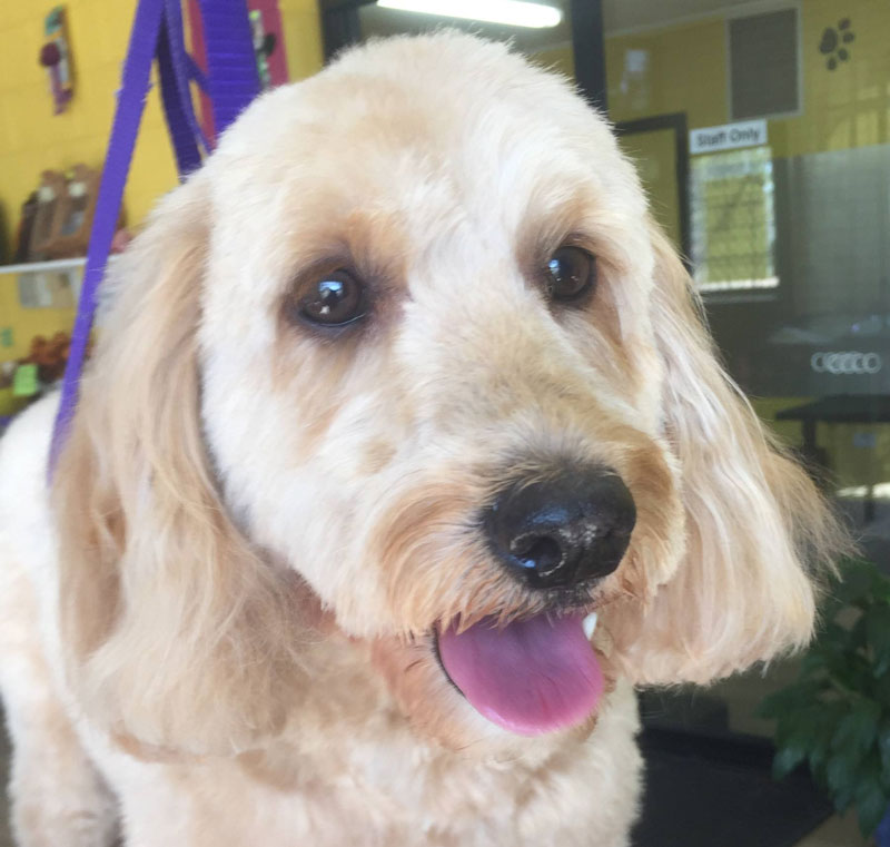 Dog grooming course vibe learning check out some grooms that have been shared by students studying the dog grooming diploma solutioingenieria Images